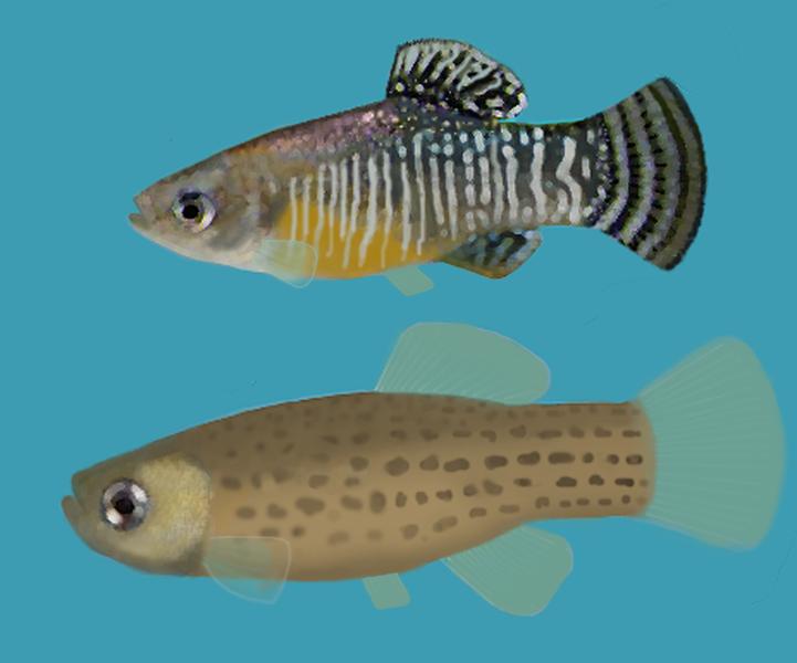 Fartet, especie única en la zona
