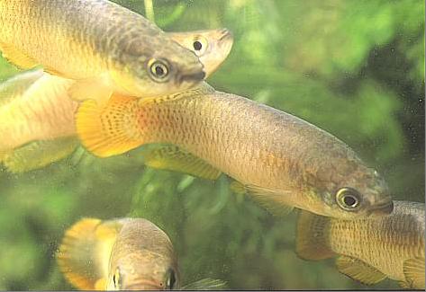 El Samaruc, pez endemico