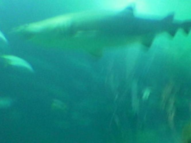 Tiburon Toro, pabellon de Oceanos, en Valencia