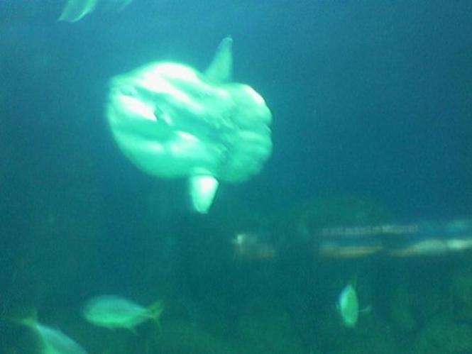 Pez Luna del acuario de Oceanos de Valencia