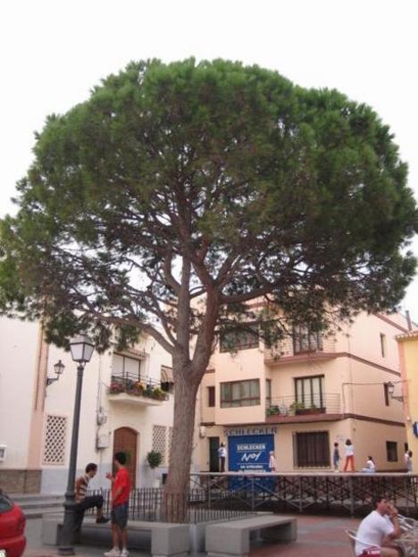 El pino de Alfaz del Pi, en la Plaza Mayor