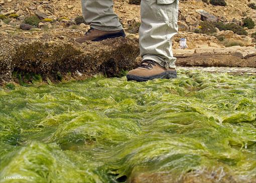 Algas en las piedras de Cabo de las Huertas