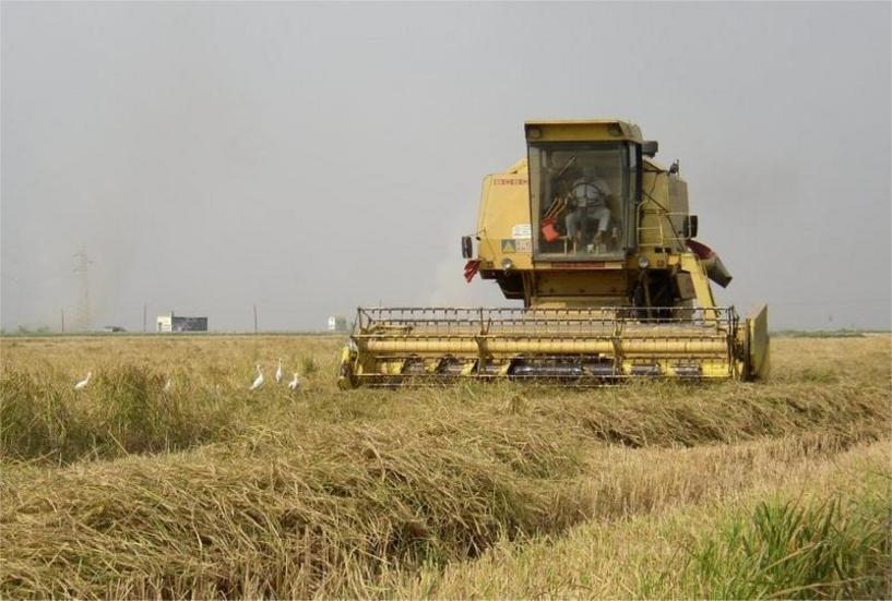 Cosechando arroz Sueca