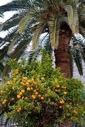 Cultiu de taronges donen Orihuela