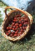 Cultivo de cerezas en Vall Laguar