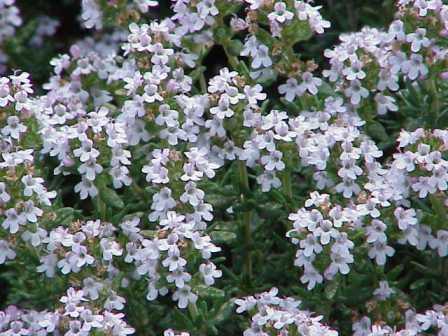 La flor del tomillo, tipico en la comarca